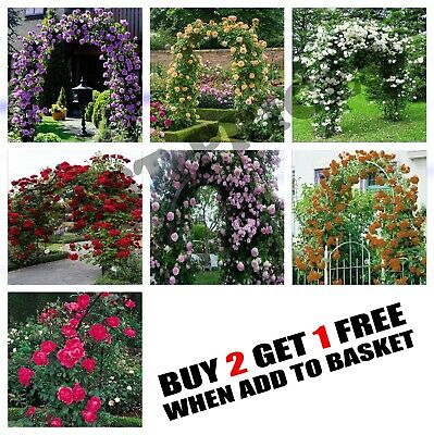 10x Climbing Rose Flower Seeds Garden Plant, Rainbow, Black, Pink, Other Colors