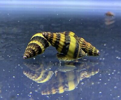 3 Assassin Snails Clea Helena 12 to 34 Live Freshwater Snail Plants