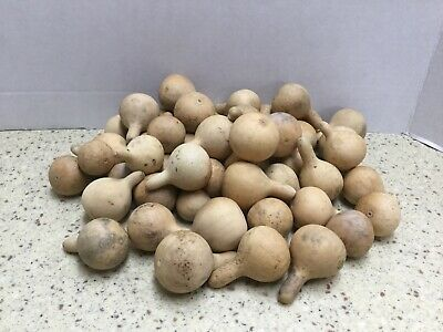 50 Cleaned and Dried Tennessee Spinners Gourds