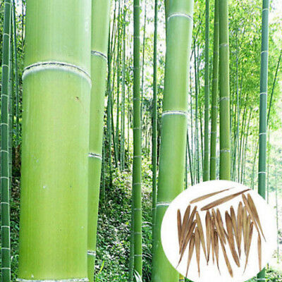 100 Giant Moso-Bamboo Seeds Privacy Climbing Garden Clumping Seeds Plants