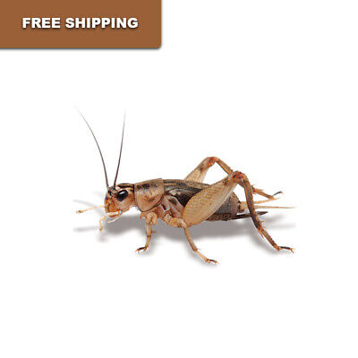 Live Crickets - 500 Count All Sizes 17-79 Free Shipping Bulk Insects