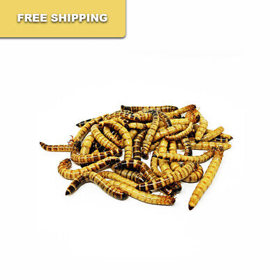 500 - Live Superworms  FREE SHIPPING
