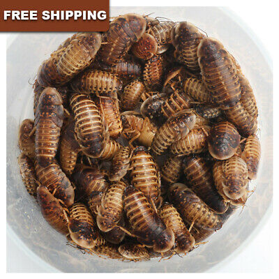 100- Dubia Roaches Blaptica dubia Large 34  Live - FREE SHIPPING