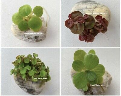 Floating Plants Combo PackRed Root Water Lettuce Amazon FrogbitWater Sponges