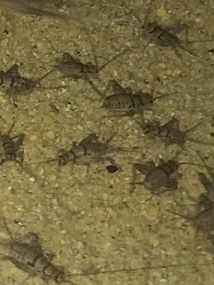 Live Crickets Assorted Med Large Mixed 250 500 1000