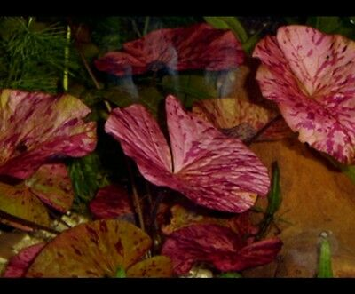 Red Tiger Lotus X1 - Live Aquarium Plant  Bulb Only Beginner Plant