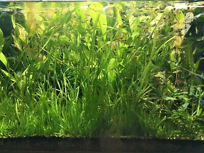 LOT ou ASSORTIMENT  DE 5 PLANTES AQUATIQUES EN BOUQUETS  PLANTES AQUARIUM