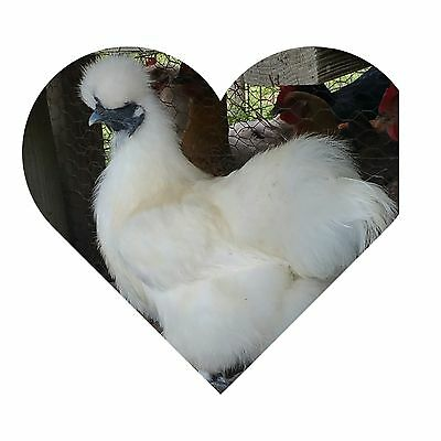 8 - PURE WHITE SILKIE FERTILE HATCHING CHICKEN EGGS FREE UPS Ground Shipping