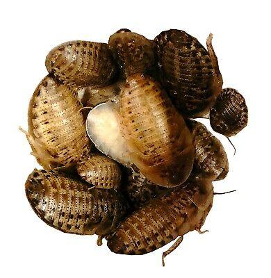 LIVE feeder dubia roaches size small 100 count