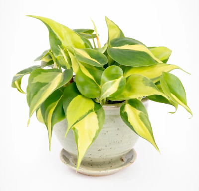 Heirloom Seeds 100 Philodendron Scandens Brazil Seeds Sweetheart Plant for Home