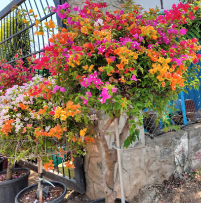 100 Mix Bougainvillea Spectabilis Willd Seeds Decorate Outside Heirloom Seeds