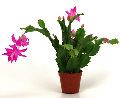 Thanksgiving - Christmas Cactus Cuttings -  2 Fresh Cuttings of your choice