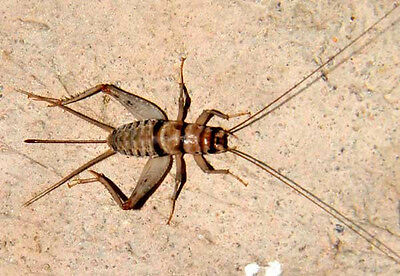 Live Crickets - All Sizes 500 - 10000 Free Shipping 19-99500 28-991000