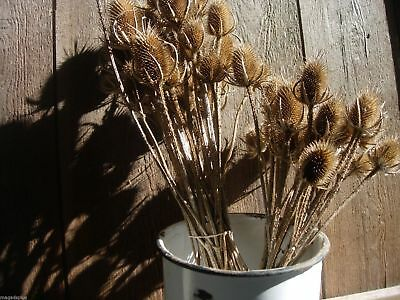 50 Long Stems DRIED TEASEL THISTLE HEADS Floral Crafts Display