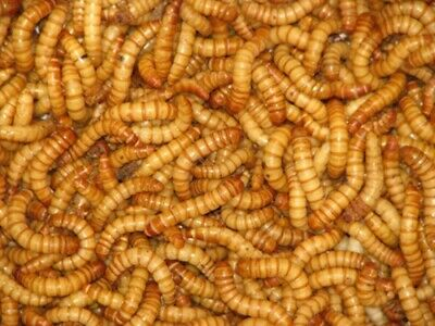 Live Giant Mealworms Free Shipping Live Arrival Guarantee