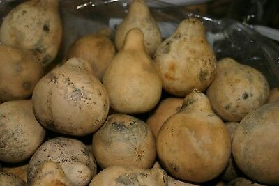 GOURDS 25 PEAR SHAPED GOURDS     DRIED CLEAN - CRAFT READY