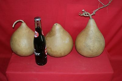 3 -  7  QUALITY MARTIN GOURDS WASHED AND DRIED