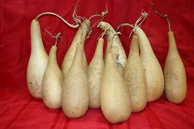 PENGUINPOWDER HORN OR TALL BODY GOURDS GROUP OF 10 SMALL