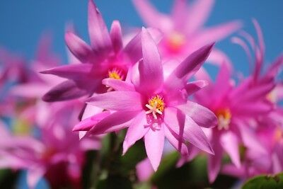 Plant Food Organic Christmas Cactus Plant Fertilizer Pack All Natural FOOD ONLY