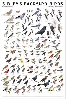 Sibleys Backyard Birds of Eastern North America Poster by David Allen 24x36
