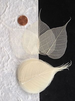 25 Bleached White leaf Po Pho Bo Banyan Skeleton Leaves Cards Candlemaking Small