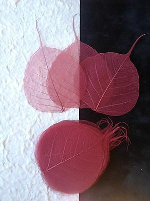 25 Cranberry Red Burgundy leaves Po Bo Banyan Skeleton leaf see through Small