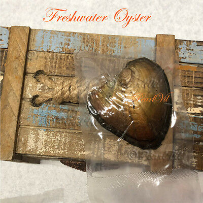 Freshwater And Seawater Akoya Oysters Each With 6-7mm Pearl - Located USA