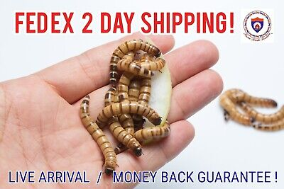 Live Superworms - Organically Raised - ALL SIZES  ALL COUNTS  Free Shipping