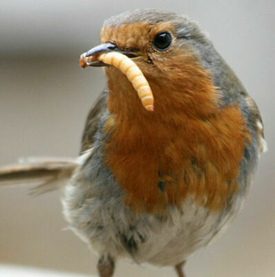 Live Mealworms 100 to 2000 - Free Bedding and Food for 5 weeks and FREE SHIPPING