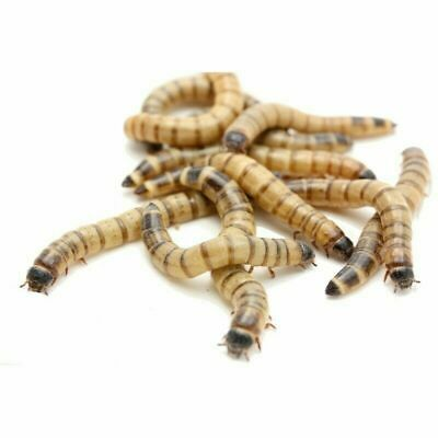 250 Live Medium Superworms 1-1-5″ and FREE BEDDINGFOOD for 6 weeks