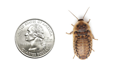 Live Crickets - All Sizes 1000 Count - 2 DAY FREE EXPEDITED SHIPPING
