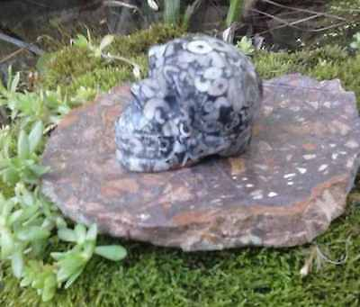 2 Stunning Very Rare Natural Crinoid Crystal Skull w 4 Fossil Rock Slab Stand