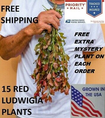 15 Ludwigia Repens Red Fresh Live Aquarium Plants Bunch Freshwater BUY2GET1FREE