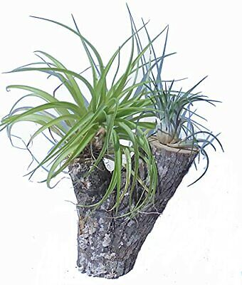 Orchid Creations Air Plant Collection placed on Mulberry Tree Stump