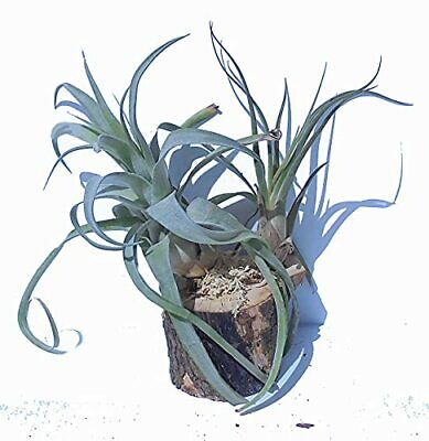Orchid Creations Air Plant Collection on Pecan Tree Stump