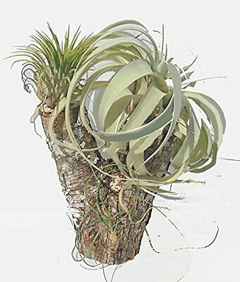 Orchid Creations Air Plant Collection on Mulberry Tree Stump