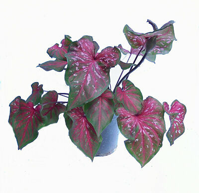 Orchid Creations - Caladium Lance Whorton in Pot with Mix and Hanging Pot-