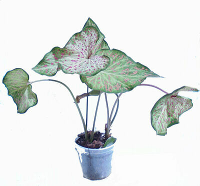 Orchid Creations - Caladium Gingerland in Pot with Mix and Hanging Pot-