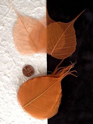 25 Dyed Copper leaves skeleton Po Bo Pho Banyan leaf see through veins Small