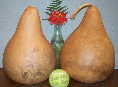 Pretty two upright GOURDS for deep bowls vases bird houses painting crafts