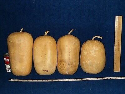 4 LIGHTWEIGHT APPLE GOURDS - with BLEMISHES  - dried