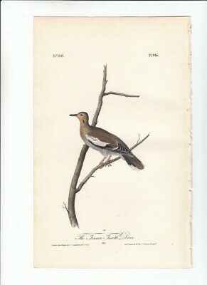 1st Ed Audubon Birds Of America 8vo Print 1840 THE TEXAN TURTLE-DOVE- 496