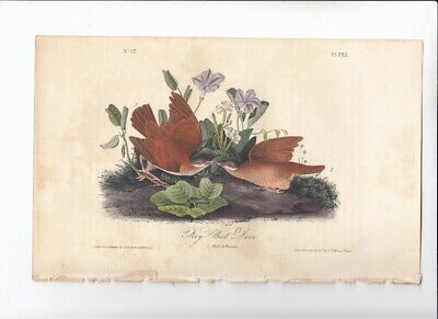 1st Ed Audubon Birds Of America 8vo Print 1840 KEY-WEST DOVE- 282