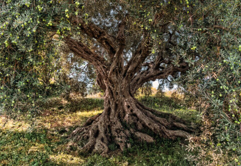 RIESIGES PAPIER TAPETE 368X254CM OLIVE TREE NATIONAL GEOGRAPHIC WANDBILD