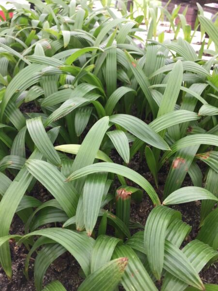 Cold Hardy Windmill Palm SEEDLINGS Trachycarpus Fortunei $3.50 TOTAL shipping