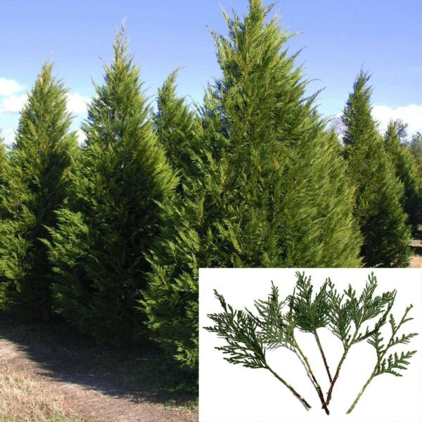 15 Leyland Cypress 8quot; Tree Cuttings Privacy Screen 3 5 FT year Fast Growing