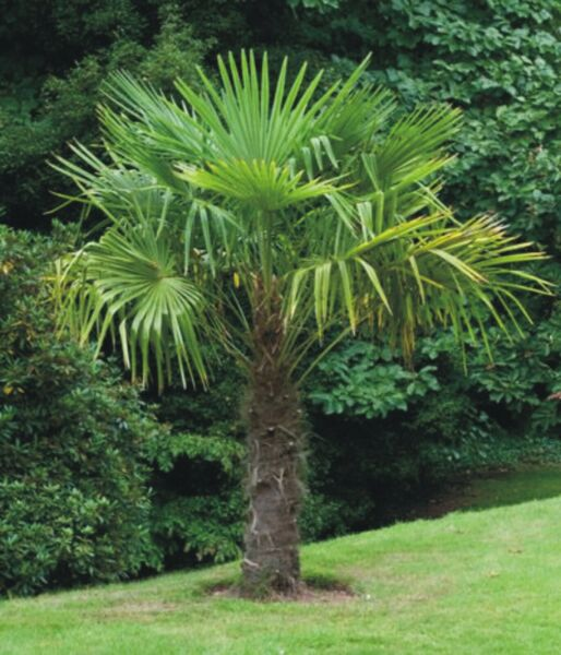 Windmill Palm Trachycarpus Fortunei TWO Baby Trees 2 yr old Hardy Palm plant