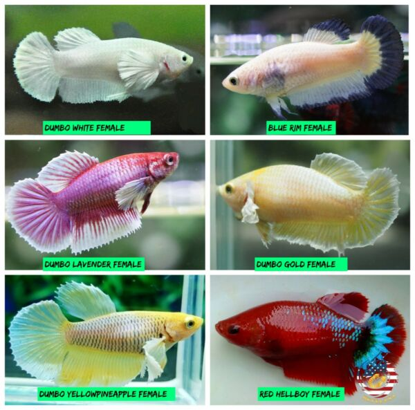 Live Betta Fish Female Sorority Lavender White Gold Dumbo Red Hellboy amp; More $20.00