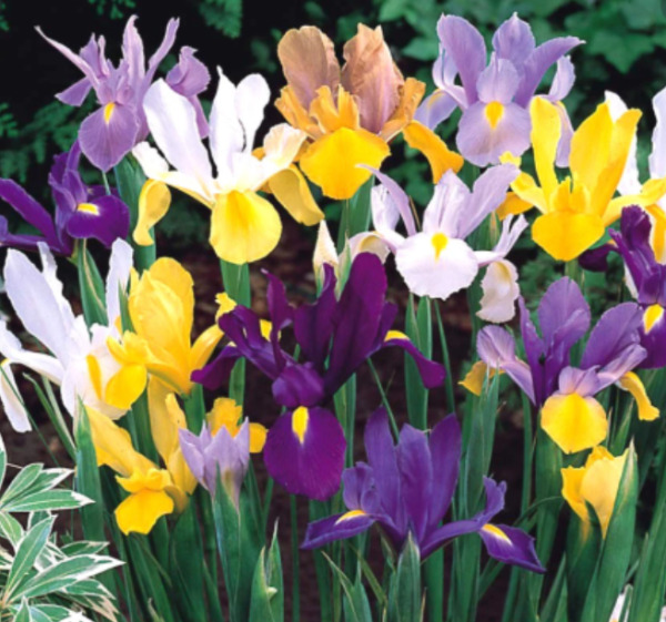 Dutch Iris Mix -- 10 Bulbs --  Read Description