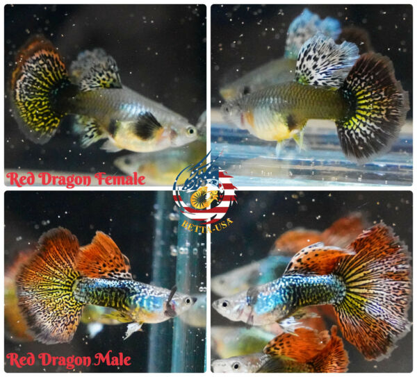 1 TRIO Live Aquarium Guppy Fish High Quality Red Dragon Halfmoon BDS $35.00